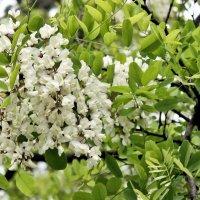 Белой акации гроздья душистые. :: Валентина ツ ღ✿ღ