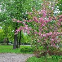 Розовое облачко яблоньку окутало.... :: Tatiana Markova