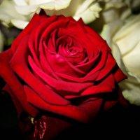 """""""Есть у всех цветов царица, звать царицу — роза...."""" :: Galina Dzubina"""