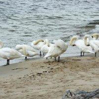 Лебеди на пляже. Утренний моцион. :: Маргарита Батырева