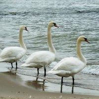 Лебеди на пляже. Передохнули... :: Маргарита Батырева