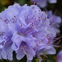 цветок рододендрона :: Olena