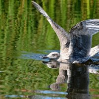 приводнение :: linnud