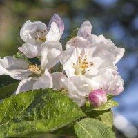 Яблоня ещё цветет..... :: Сергей Израилев