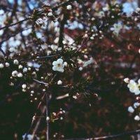цветущая вишня :: Валерия Беськаев