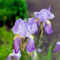 Утренние цветы :: Юрий Стародубцев