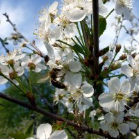 Цветущая вишня :: Елена Грошева