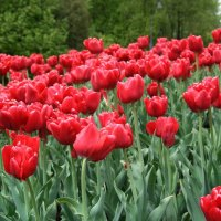 Весенние тюльпаны :: Александр Вуколов