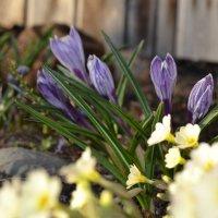 Лютики-цветочки у меня в садочке... :: Валерия Матикайнен