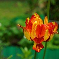 Тюльпаны... :: Argo Creator