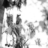 Птичий виноград :: Ирина Сивовол