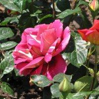 Роза (Коллекция Никитского ботанического сада, май 2016 г.) :: Ольга Иргит