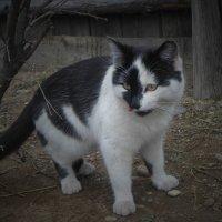 Чёрно белый кот :: Настя Перфильева