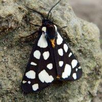 Ночная бабочка :: Сергей Босов