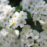 flowers :: Hasmik Garibdjanyan
