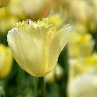 из серии цветы весны Тюльпаны :: Мария Климова