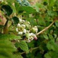 Смородина цветёт :: Настя Перфильева