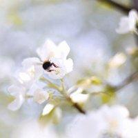 Цветущих  яблонь сладкий аромат........ :: Ирэна Мазакина