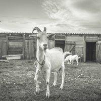 Коза на заднем дворе :: Alexander Ivanov