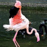 фламинго :: Алёна Закатченко