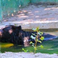гималайский медведь Андрей :: Алёна Закатченко