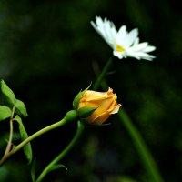 подчеркивая розы красоту... :: Александр Корчемный