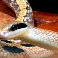 Змея :: Вероника Озем