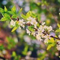 Весна. Всё цветёт! :: Angelika Faustova
