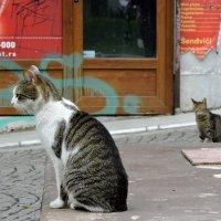 Белградские коты :: Tatiana Belyatskaya
