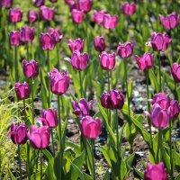 Тюльпаны :: Олег Чернышев
