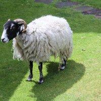 «Овцы съели людей» :: Антонина