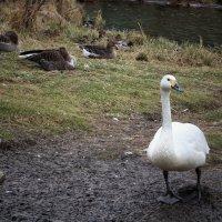 Утки, лебедь-кликун :: Марина Влади-на