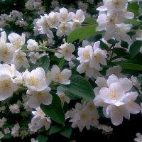 Цветёт жасмин… :: Наталия Павлова