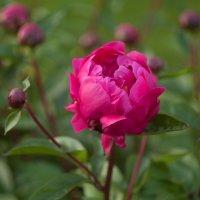 Цветок пиона :: Анастасия