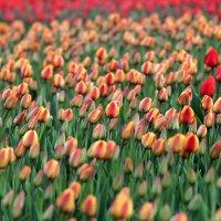 Тюльпаны в мае. :: Олег Чернышев