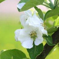 цвет яблони :: Наталия Зыбайло
