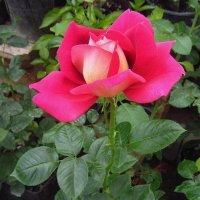 Учусь снимать розы :: Андрей Лукьянов