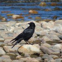 Черный ворон :: Валентин Когун