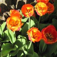 Тюльпаны у дерева :: Маера Урусова