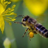 Пчёлка в работе :: Владимир Виттих