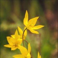Ботанические тюльпаны. :: Юрий