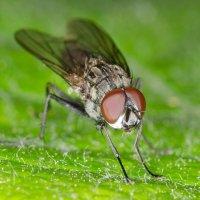 Просто муха :: Сергей Казаченко