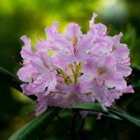 Rhododendron :: Евгений U