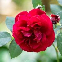 Роза :: Alex Bush