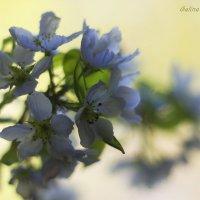 ...К утру раскрылись хрупкие цветы, и запах сладкий их туман окутал... :: Галина Стрельченя