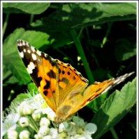 Бабочка :: Galina Belugina