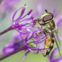 Полосатый мух :: Александр Михеев