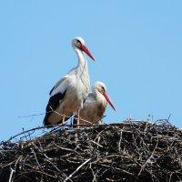 белые аисты :: linnud