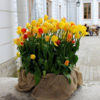 тюльпаны :: Алла Лямкина