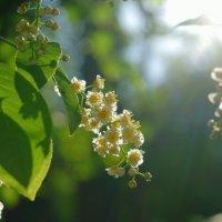 Черемухи цвет :: НикЛеод